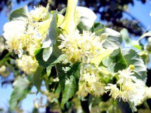 lipovyj-cvet-lechebnye-svojstva-i_1